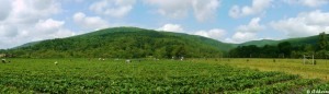 Strawberry Fields Blue Ridge