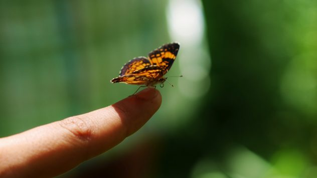 Butterfly on finger - Pearl Crescent