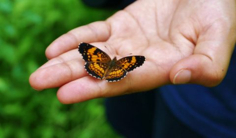 Butterfly in Hand - Pearl Crescent